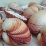 Shell Closeup_ALL NATURAL SOAP Co
